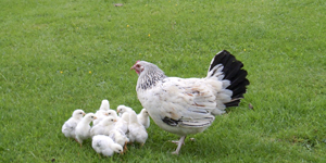 Chicks at Setmabanning Caravan Park
