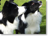 Collie dogs at our working farm